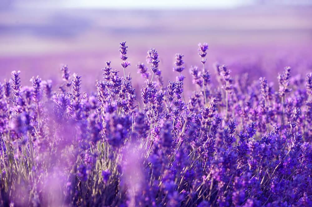 Lavanda. benefícios e propriedades terapêuticas - Aromaterapia: 7 óleos essenciais para se ter em casa
