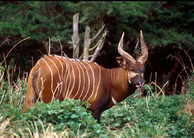 Bongo1 - A conservação da vida selvagem depende do incansável trabalho dos guardas-florestais