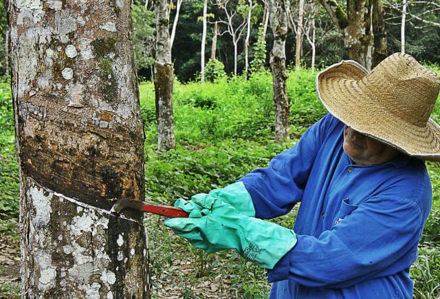 Sangria da Seringueira Felipe Santos da Rosa - Mexicanos criam couro orgânico a partir de cactos e no Brasil a exploração de um novo ciclo da borracha