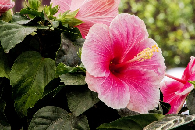 hibiscus 3485177 640 - Descubra as propriedades terapêuticas das flores