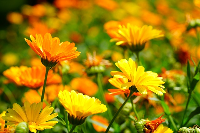 marigold 3528402 640 - Descubra as propriedades terapêuticas das flores