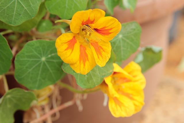 nasturtium 4845614 640 - Descubra as propriedades terapêuticas das flores