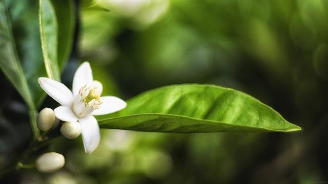 orange tree 1645816 640 - Descubra as propriedades terapêuticas das flores
