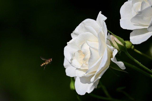 rose 5321475 640 - Descubra as propriedades terapêuticas das flores