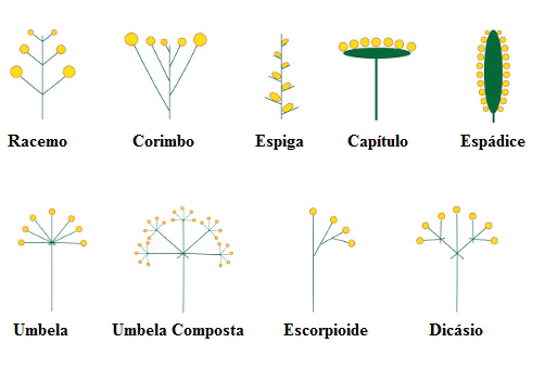 tipos inflorescencia - Descubra as propriedades terapêuticas das flores