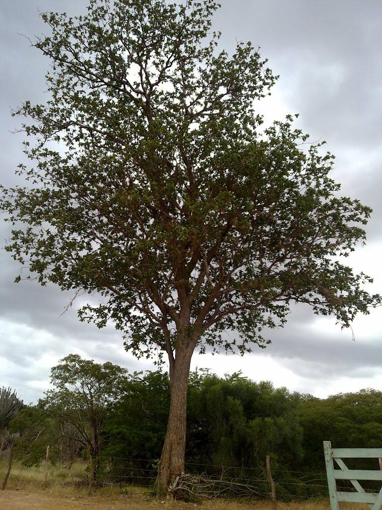 aroeira do campo - As cascas das árvores também mostram a sua força de cura