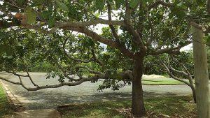 cajueiro 300x169 - As cascas das árvores também mostram a sua força de cura