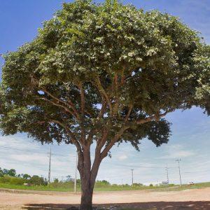 jatoba 300x300 - As cascas das árvores também mostram a sua força de cura