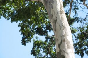 juca 1168 l 300x200 - As cascas das árvores também mostram a sua força de cura