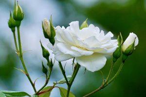 roses 2604125 640 300x200 - Banhos de ervas para começar bem 2021